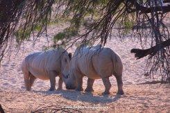 Bo Rhino meets girl Rhino, Namibia 2011
