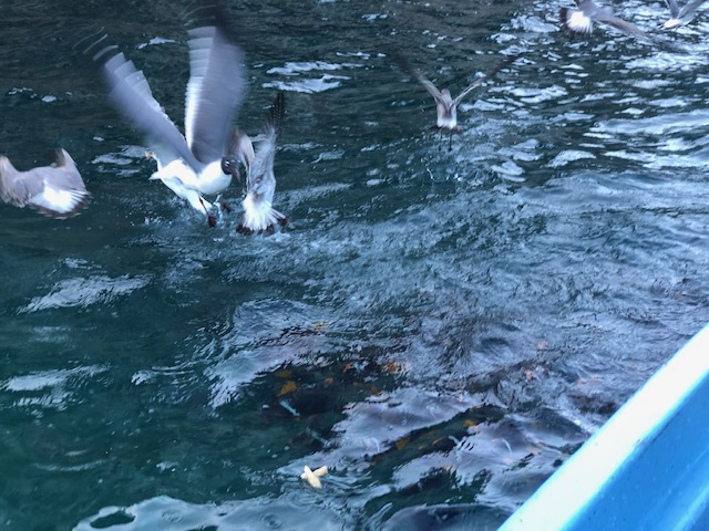 Birds diving into the water for bread