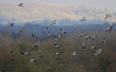 Stock doves with the North Downs beyond