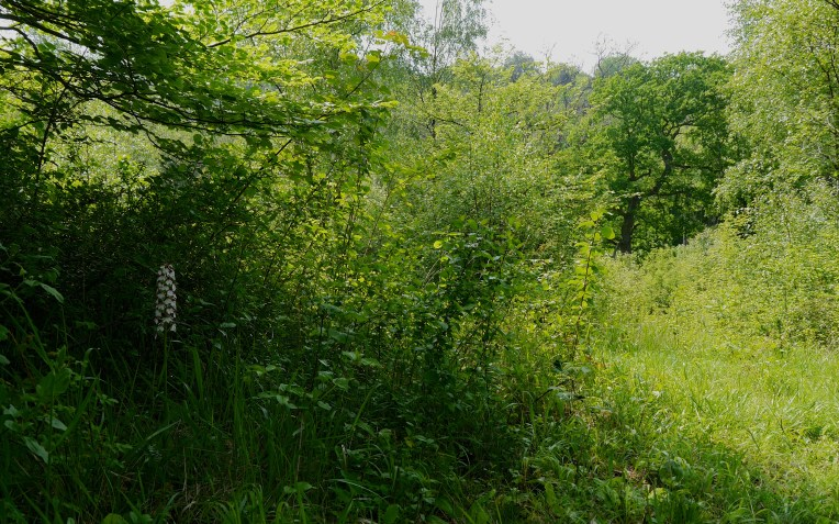 Lady orchid and oak woodland