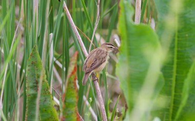 Sedge warbler feeding young, May 28th, 2016