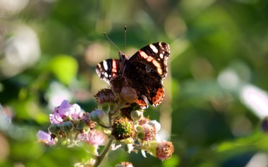 Red admiral on bramble flower