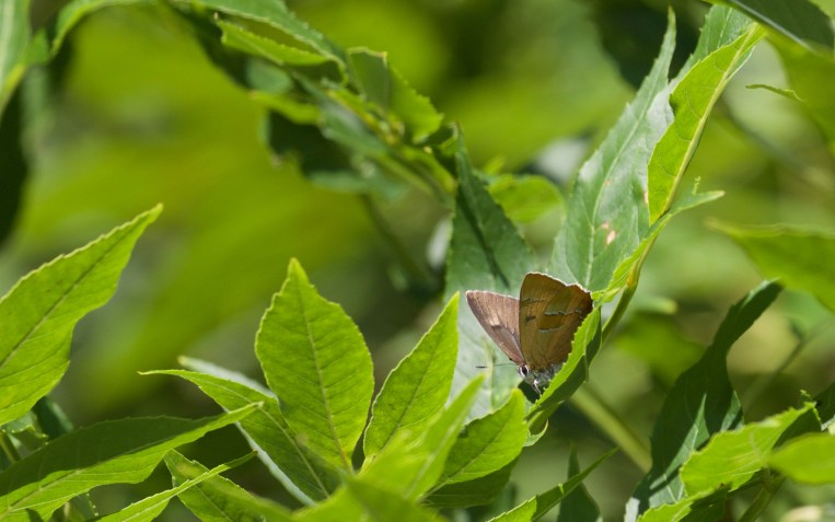 Male brown hairstreak on ash 2