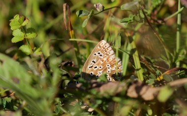 Common blue walking and egg laying