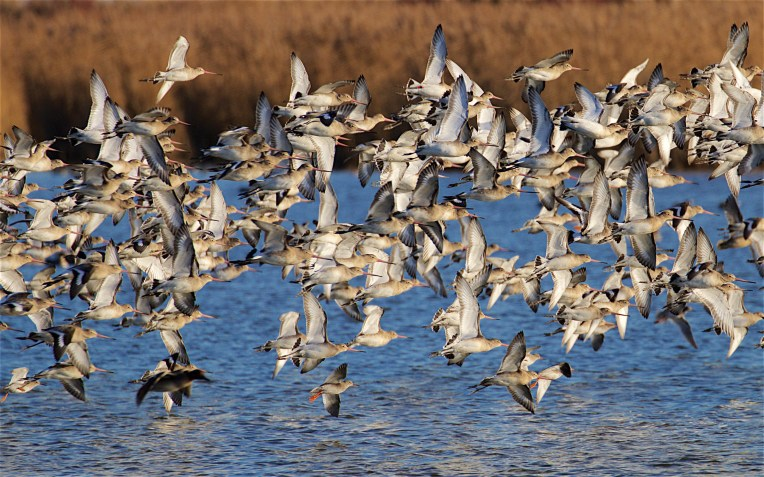 Black-tailed godwit flock changing position