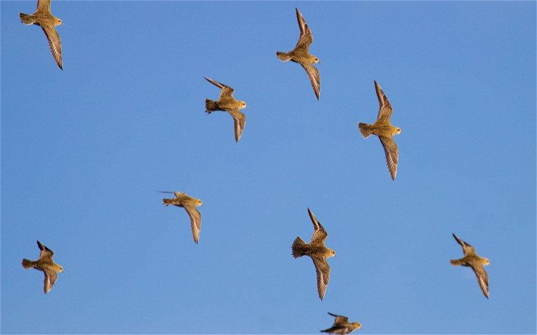 Golden plover flock 1
