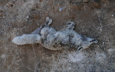 Dead fox on frozen ground