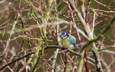Blue tit in a bush