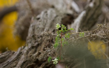 Climbing corydalis