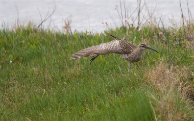 Whimbrel stretching a wing