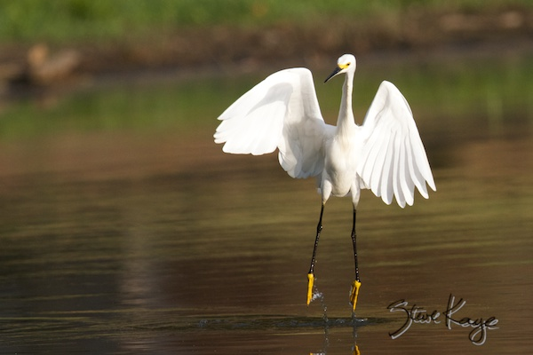 Snowy Egret, Annual Report 2013, by Steve Kaye