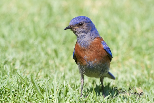 Western Bluebird, Annual Report 2013, by Steve Kaye
