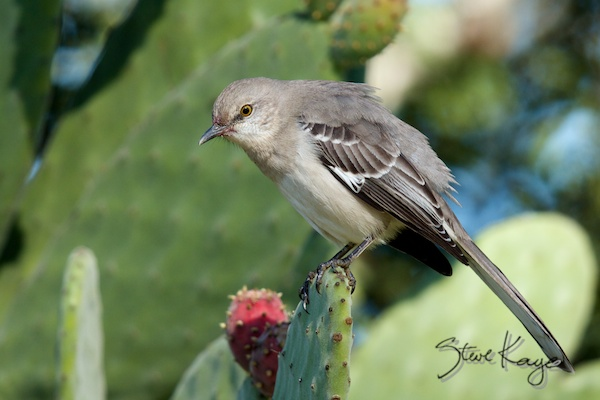 Northern Mockingbird, photo in Steve Kaye's Weird Career