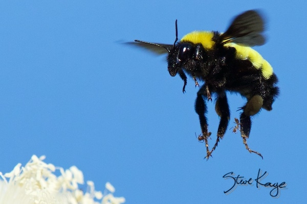 Sonoran Bumble Bee in post Unwanted Passengers, (c) Photo by Steve Kaye