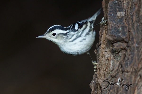 Black-and-white Warbler, (c) Photo by Steve Kaye, in You Can Break the Rules