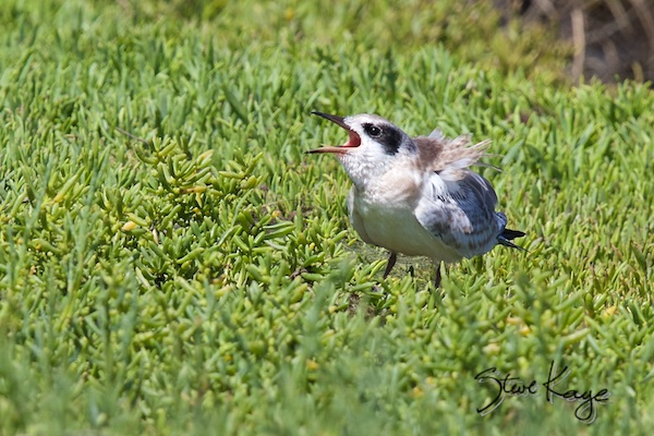 Forster's Tern, Juvenile, in Bird Photos 1, Photo by Steve Kaye