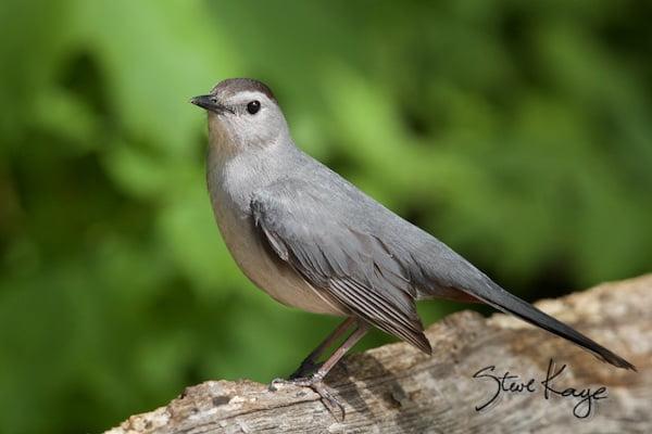 Gray Catbird, in Bird Photos 1, Photo by Steve Kaye