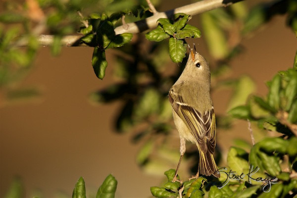 "Ruby-crowned Kinglet in blog titled ""Small Bird, Big Name"" (c) Photo by Steve Kaye"