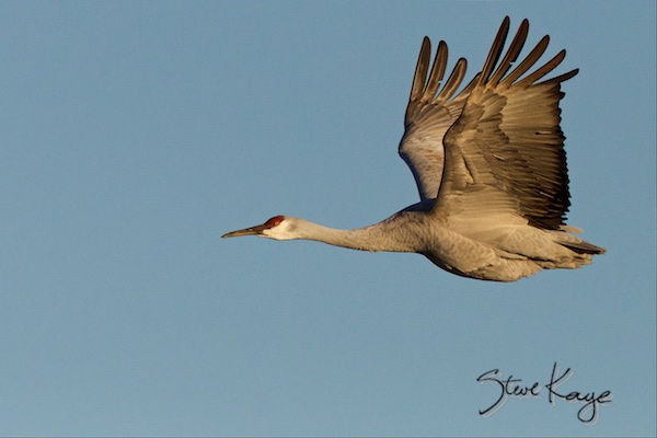 Sandhill Crane, (c) Photo by Steve Kaye, posted in blog: We solved another puzzle