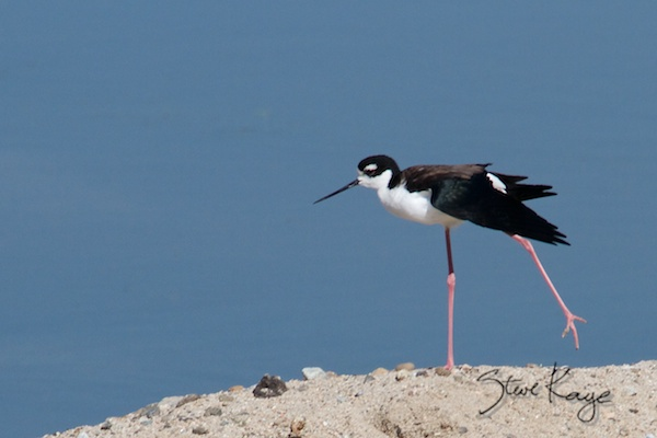 Black-necked Stilt, (c) Photo by Steve Kaye