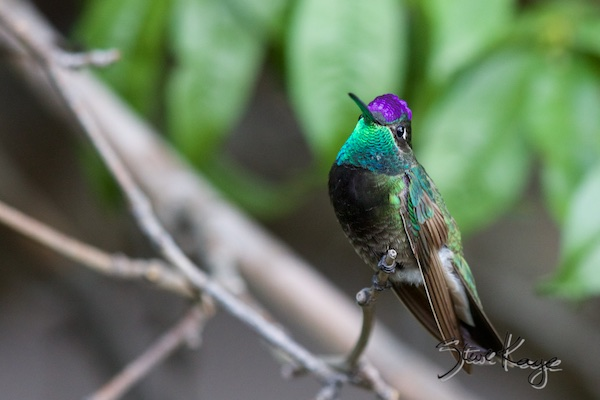 Magnificent Hummingbird, Male, (c) Photo by Steve Kaye, in Steve Kaye's Annual Report for 2015