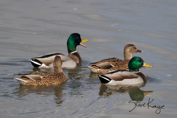 Mallard, Male and Female, in Funny Birds, (c) Photo by Steve Kaye