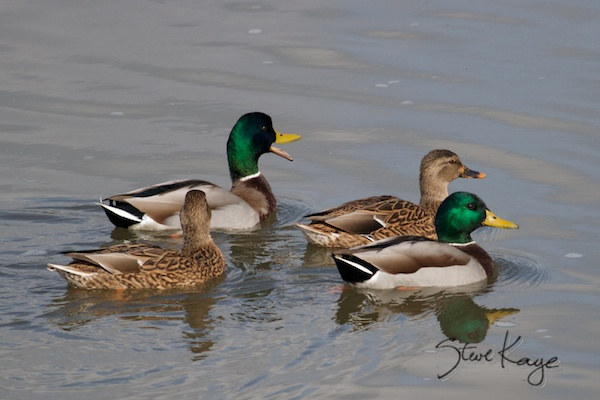 Mallard, Male and Female, in Funny Birds, (c) Photo by Steve Kaye