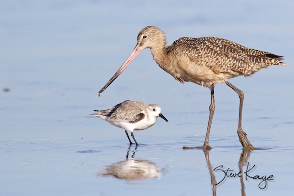 Sanderling and Marbled Godwit on Pacific Coast, (c) Photo by Steve Kaye, in Steve Kaye's Annual Report for 2015