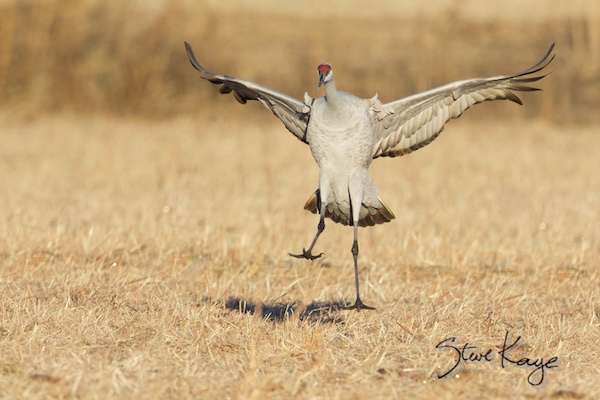 Sandhill Crane Landing, (c) Photo by Steve Kaye, in Steve Kaye's Annual Report for 2015