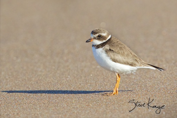Semipalmated Plover, (c) Photo by Steve Kaye, in Steve Kaye's Annual Report for 2015