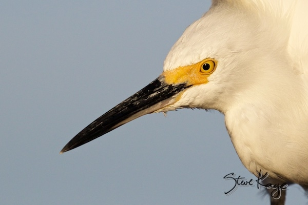 Snowy Egret, in Birds Up Close, (c) Photo by Steve Kaye