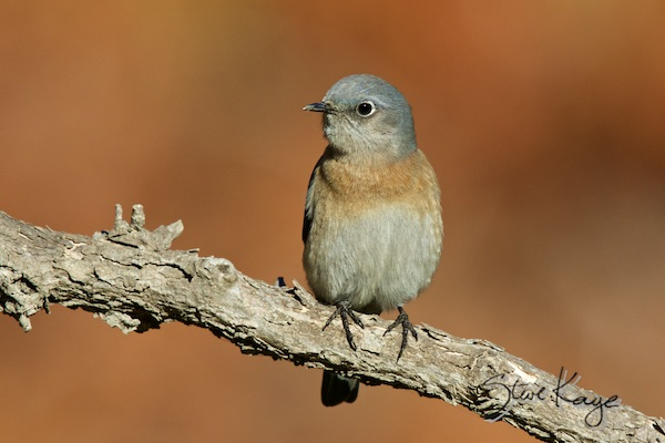 Western Bluebird, Female, (c) Photo by Steve Kaye, in blog: Wonderful Success Story