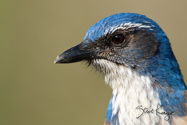 California Scrub-Jay, in Birds Up Close, (c) Photo by Steve Kaye