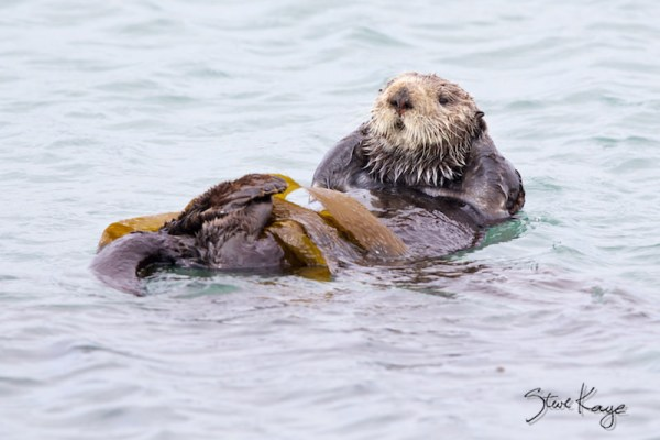 Pacific Sea Otter, (c) Photo by Steve Kaye, Wildlife Photos