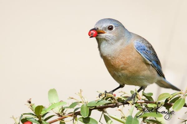 Western Bluebird, Female eating a berry, WEBL, SIAMEX, Passeriformes, Turdidae, Sialia, S. mexicana, Scalia mexicana, (c) Photo by Steve Kaye