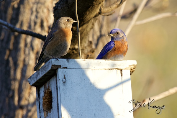 Western Bluebird, Female (Left) and Male (Right) on Nest Box, (c) Photo by Steve Kaye