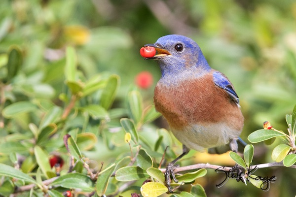 Western Bluebird, Male eating a berry, WEBL, SIAMEX, Passeriformes, Turdidae, Sialia, S. mexicana, Scalia mexicana, (c) Photo by Steve Kaye