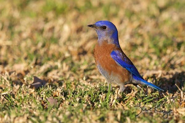 Western Bluebird, Male, WEBL, SIAMEX, Passeriformes, Turdidae, Sialia, S. mexicana, Scalia mexicana, (c) Photo by Steve Kaye