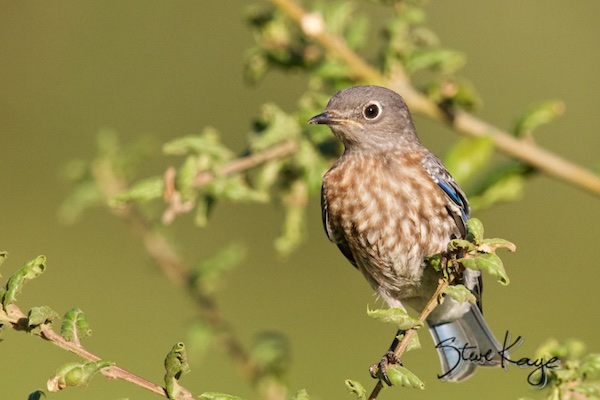 Western Bluebird, Juvenile, WEBL, SIAMEX, Passeriformes, Turdidae, Sialia, S. mexicana, Scalia mexicana, (c) Photo by Steve Kaye