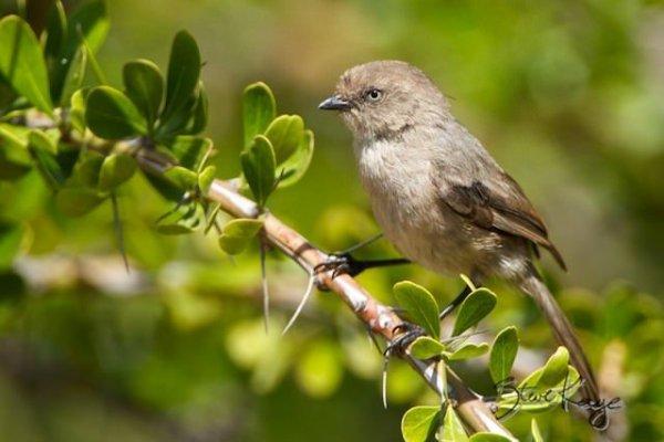 Bushtit, Female, (c) Photo by Steve Kaye