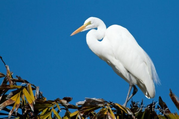 Great Egret, (c) Photo by Steve Kaye