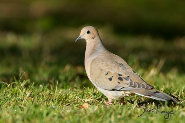 Mourning Dove, (c) Photo by Steve Kaye
