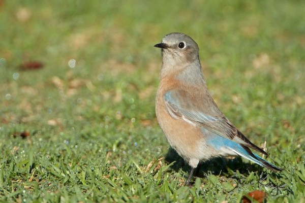 Western Bluebird, Female, (c) Photo by Steve Kaye