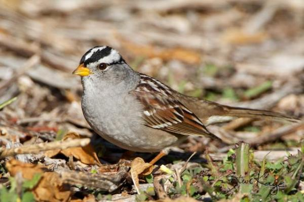 White-crowned Sparrow, Adult, (c) Photo by Steve Kaye