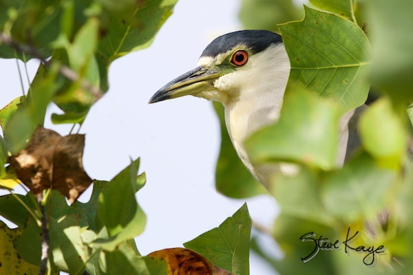 Black-crowned Night-Heron, (c) Photo by Steve Kaye, in post: Always Something