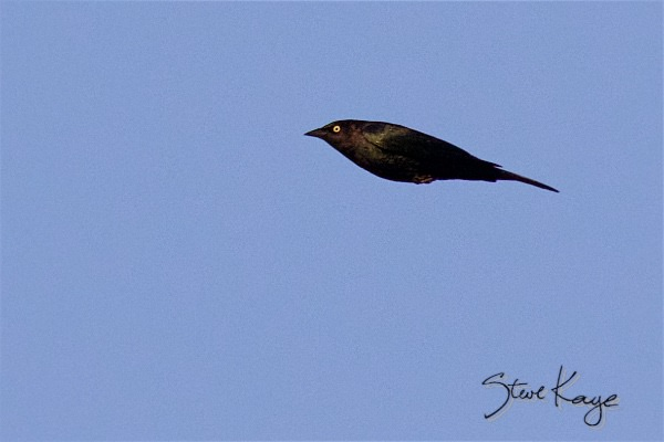 Brewer's Blackbird, Male, (c) Photo by Steve Kaye, in post: Hey Ma, Look at Me! No Wings!