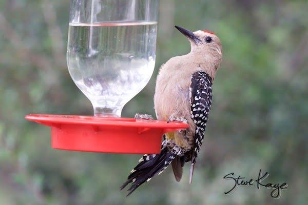 Gila Woodpecker, Male, (c) Photo by Steve Kaye, in Post: Not a Hummingbird