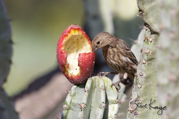 House Finch, Female, Eating Cactus Fruit, (c) Photo by Steve Kaye, in post: Caution