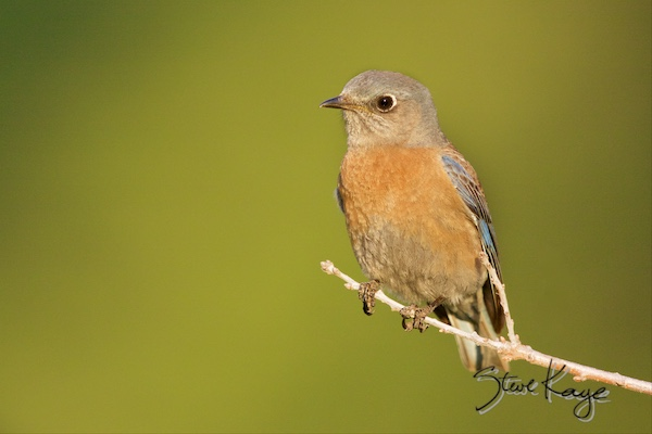 Western Bluebird, Female, (c) Photo by Steve Kaye, Inspiring Presentations by Steve Kaye