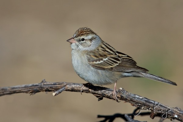 Chipping Sparrow, (c) Photo by Steve Kaye, in 2 Major Photo Tips